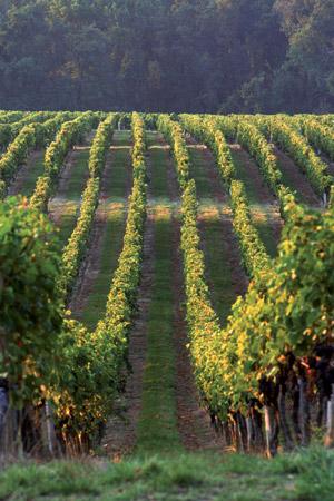 Il y a longtemps blog - Entretien de la vigne ...